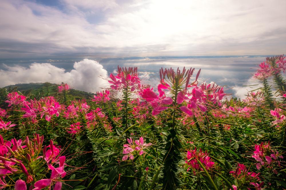 เที่ยว ดอกกระเจียว อุทยานแห่งชาติไทรทอง traveloka